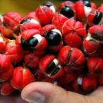 Guaraná, fruto típico de Maués/ AM