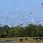 Búfalos na Ilha de Marajó - Belém/ PA